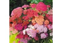 Achillea Summer Berries Improved Seeds