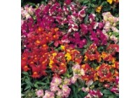 Antirrhinum F1 Pearly Queen Mix Seeds