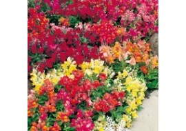 Antirrhinum Magic Carpet Mix Seeds