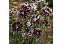 Dianthus Chianti Seeds