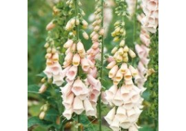 Digitalis Suttons Apricot Seeds