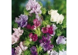 Echium Plantagineum Little Bells Mix Seeds