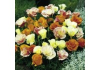 Eschscholzia Tropical Punch Mix Seeds