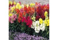 Antirrhinum Seeds - F1 Sonnet Mix