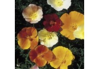 Eschscholzia Vivid Mix Seeds