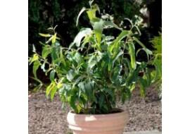 Eucalyptus Lemon Bush Seeds