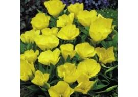 Evening Primrose Yellow Queen Seeds