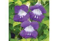 Asarina Blue Yonder Seeds