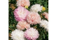 Aster Bridesmaids Seeds