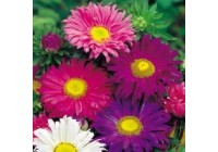 Aster Lazy Daisy Mix Seeds