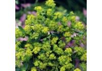 Bupleurum Chatterbox Seeds